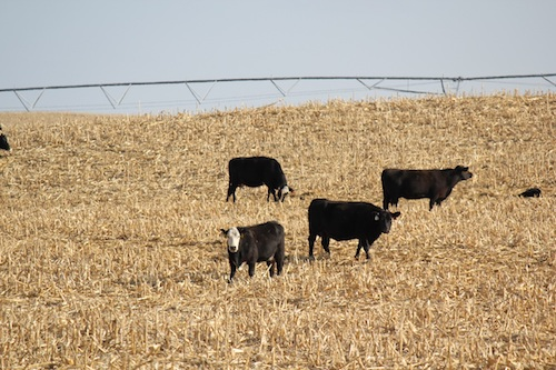 Cattle grazing on residue