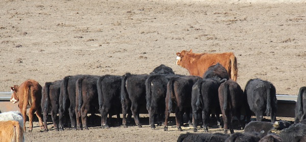 Cattle by-product feeding