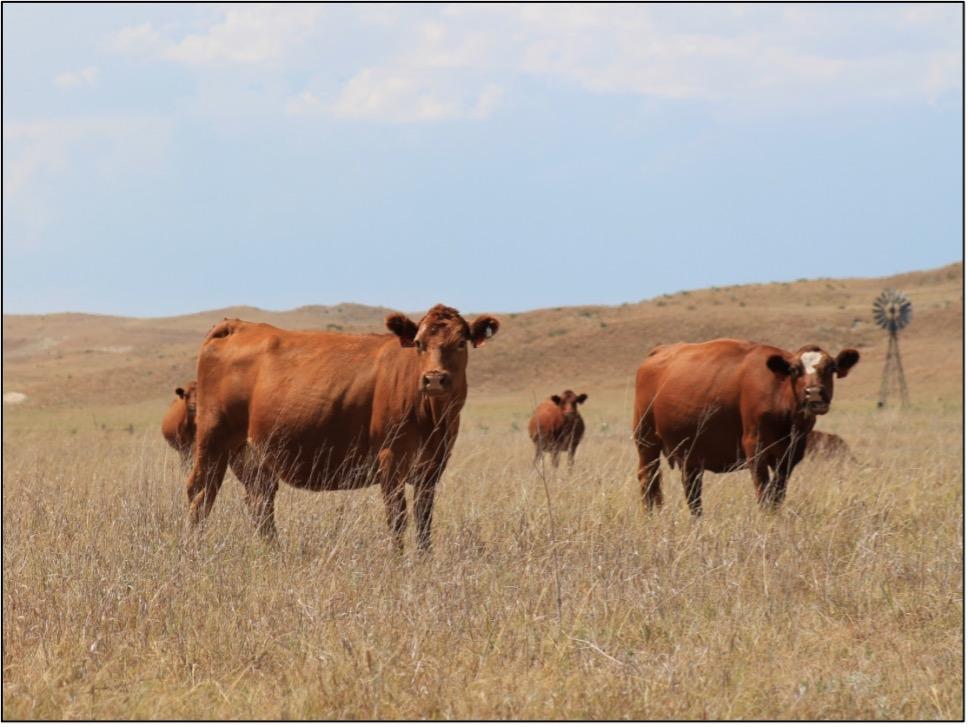 cattle grazing in dry field
