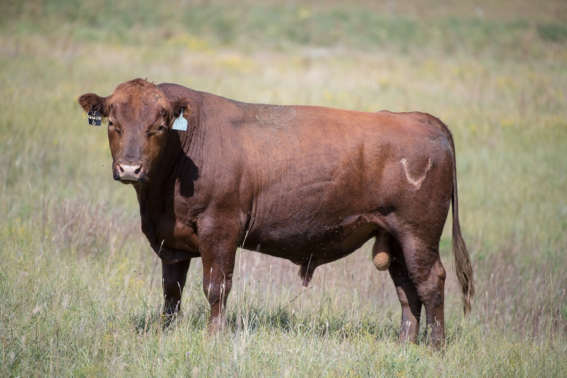 cow standing in field