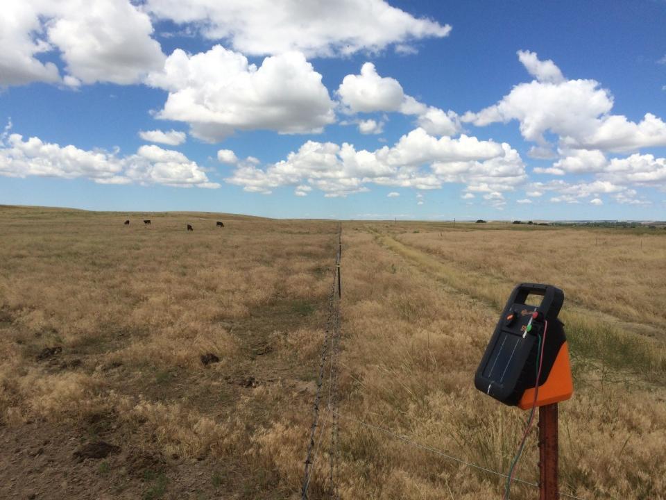 cheatgrass field