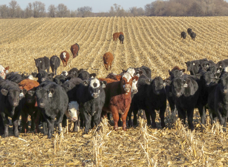Cattle grazing corn residue