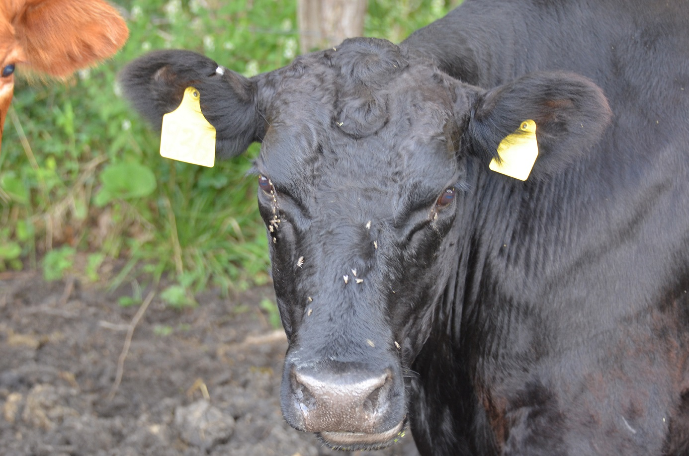 Face flies on cow