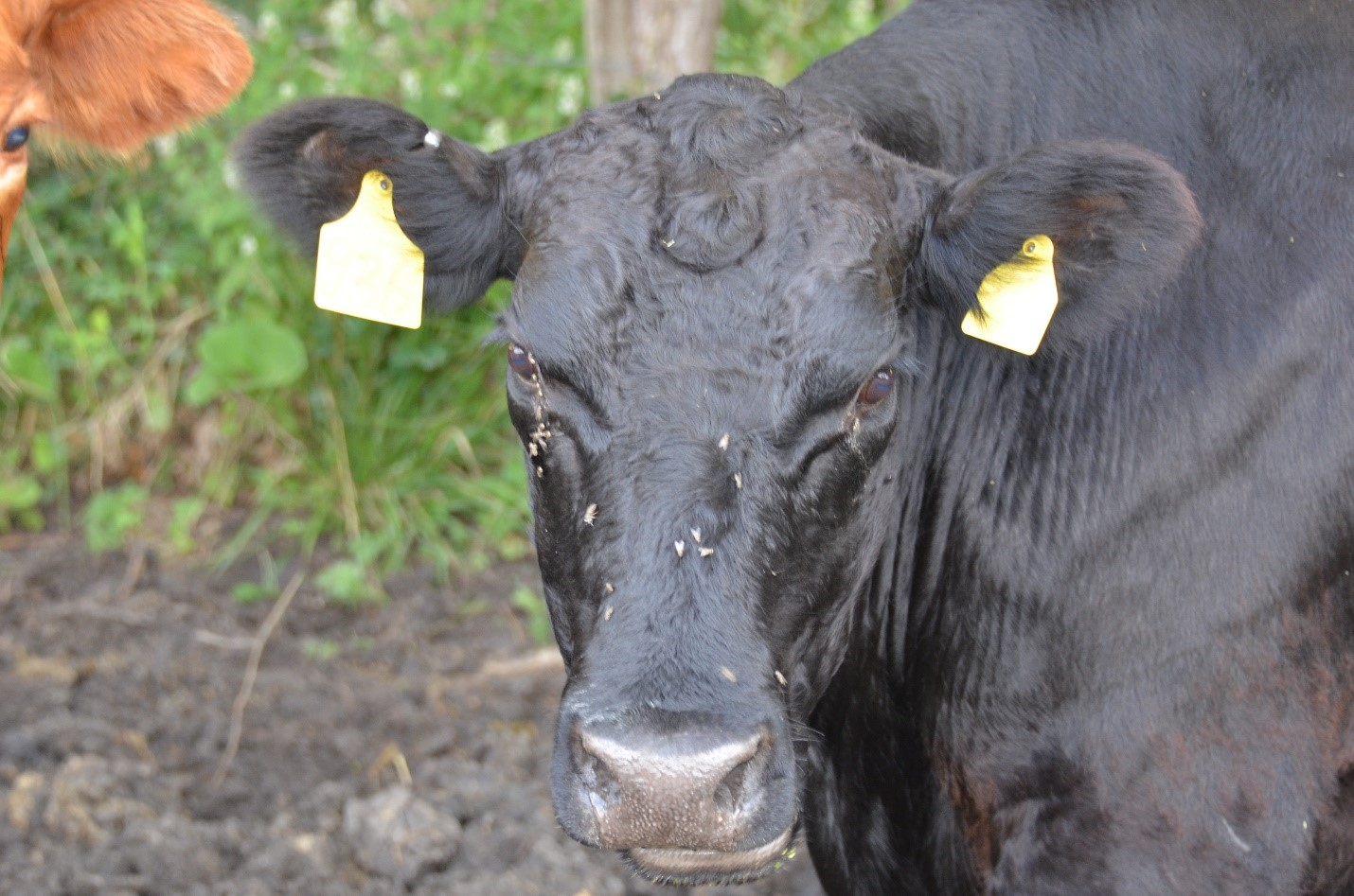 Face flies on a cow