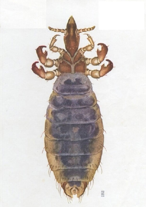 Long-nose cattle louse
