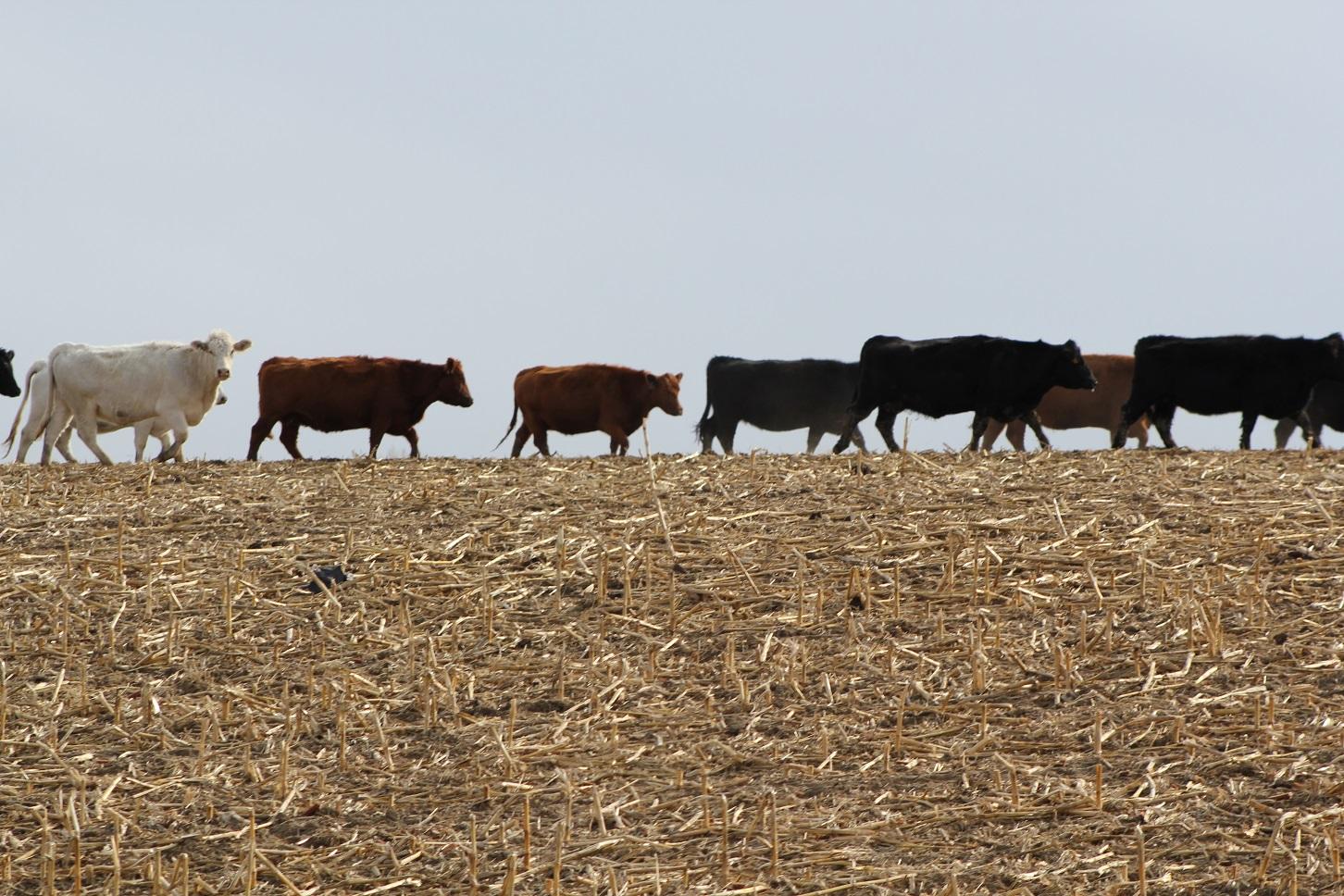 Cows in cornfield