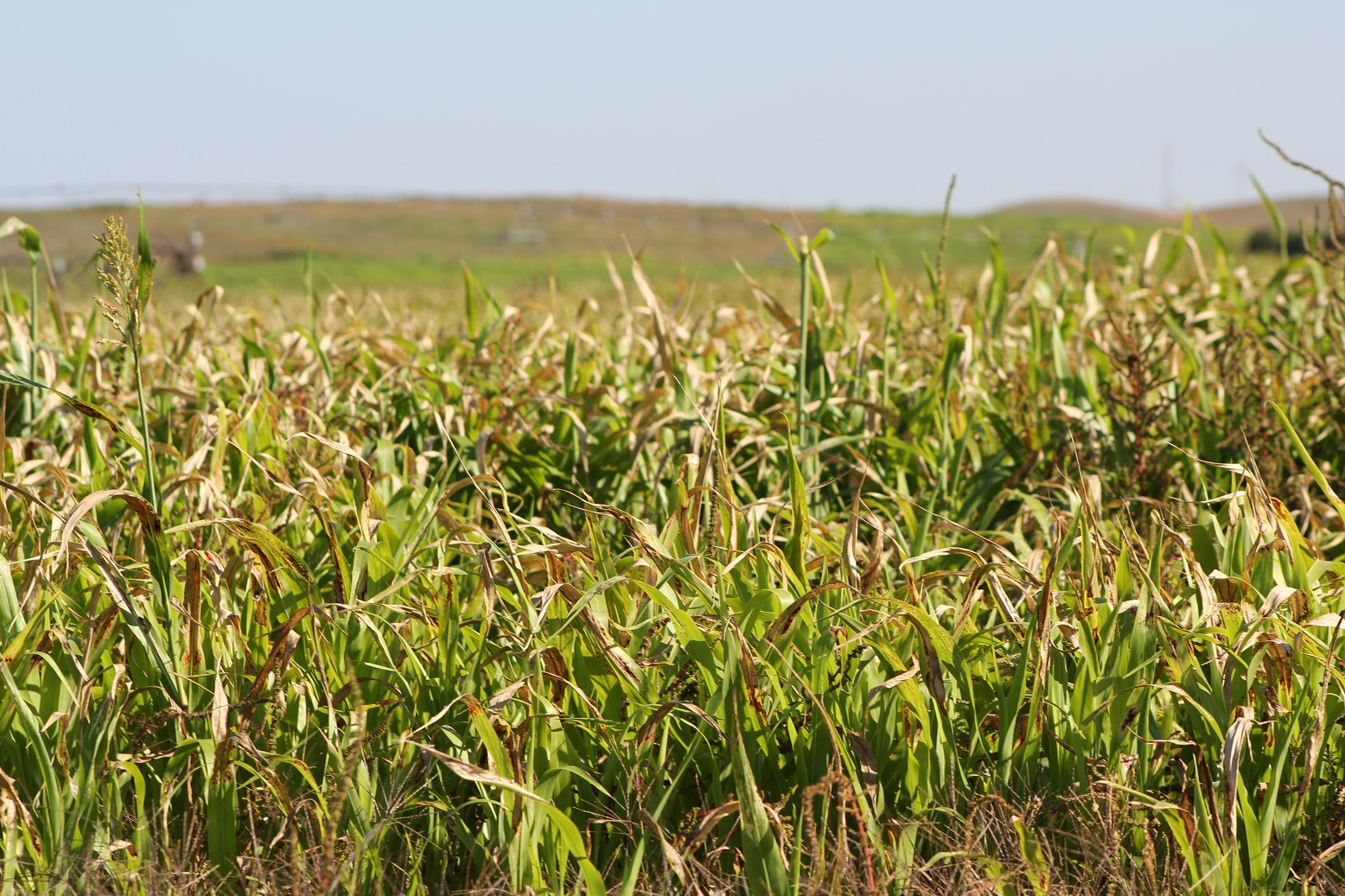 Frosted sorghum