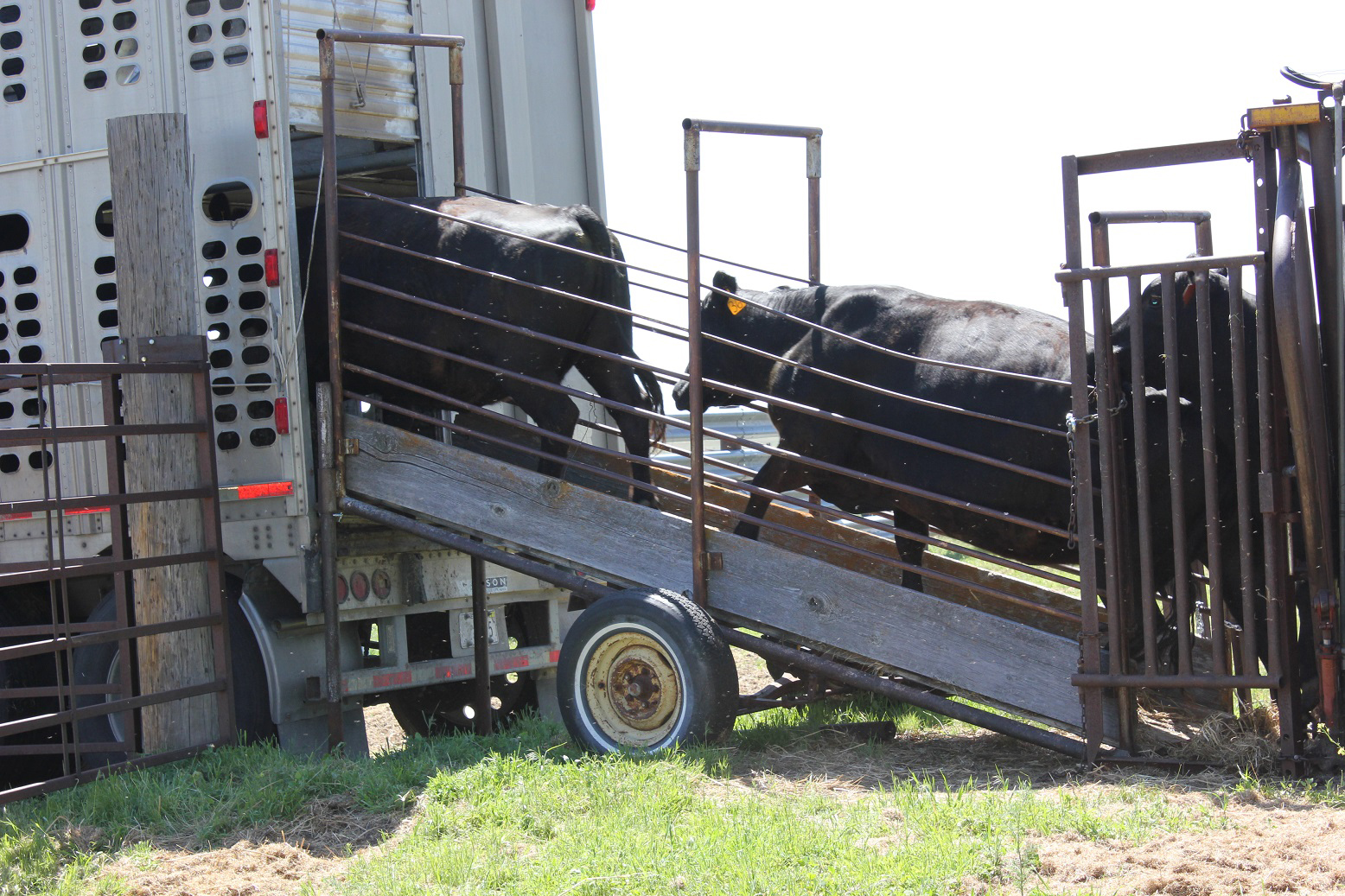 Loading cattle on a semi
