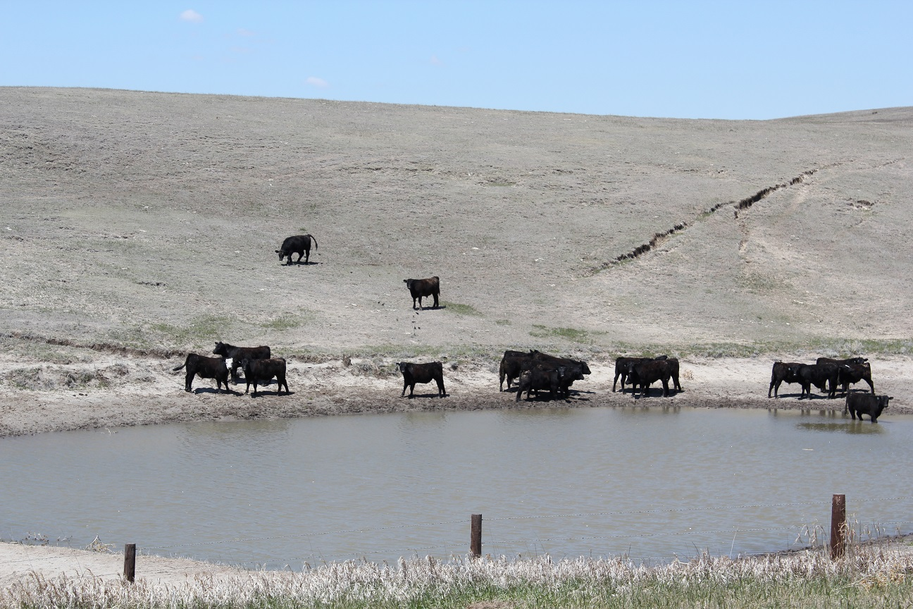 Cattle in pond
