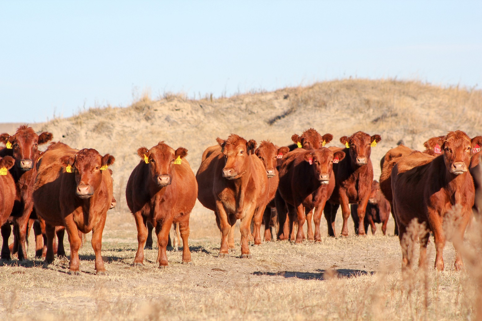 Cattle on rangeland