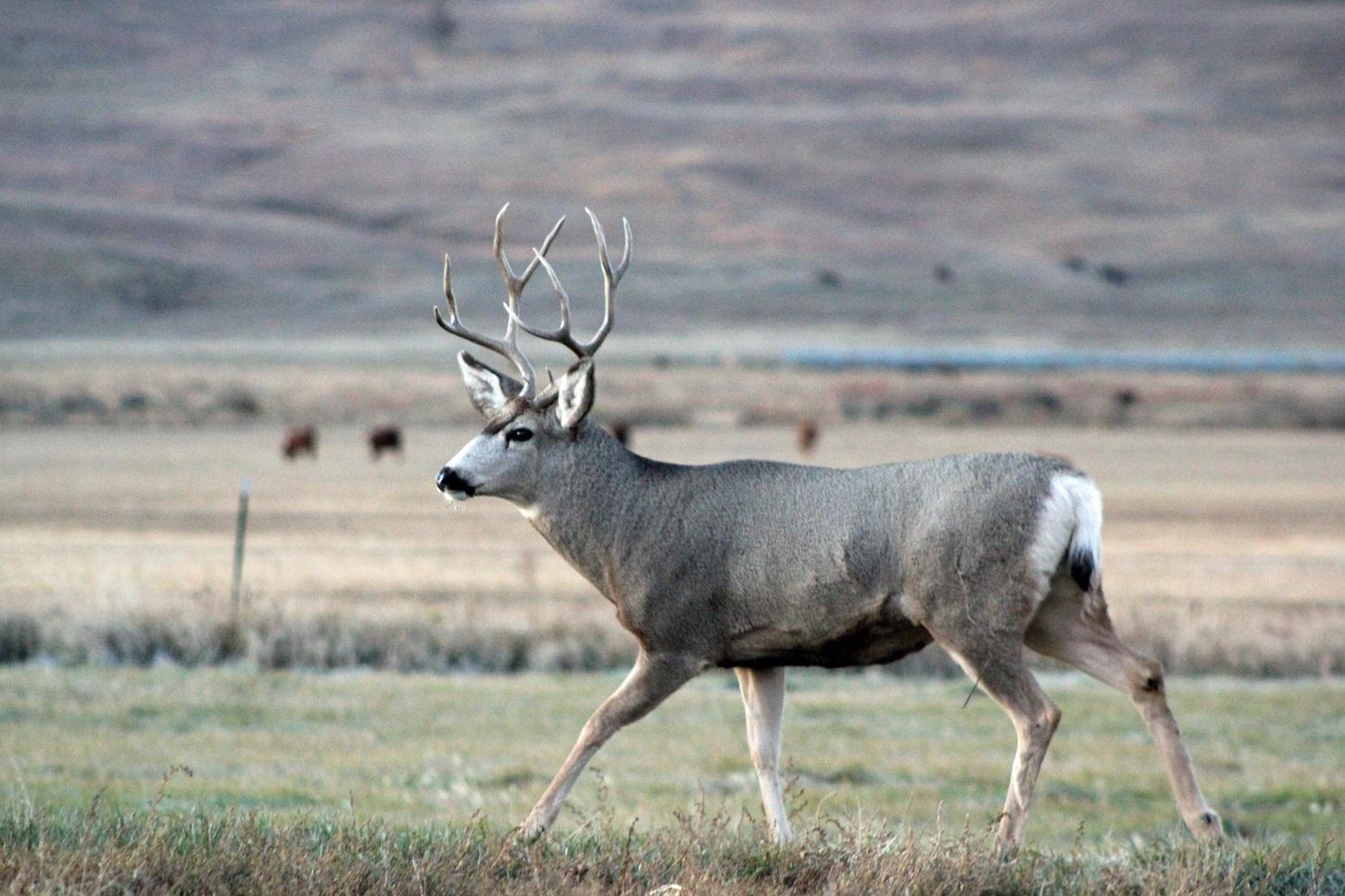 a buck running through a field