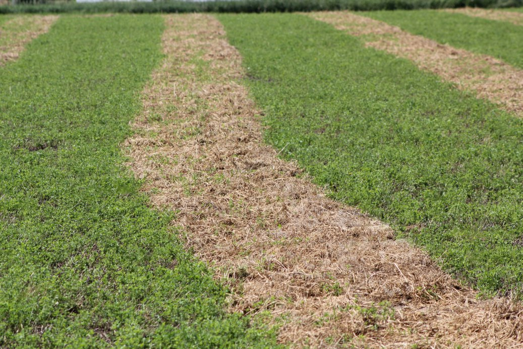 Rained on alfalfa windrow