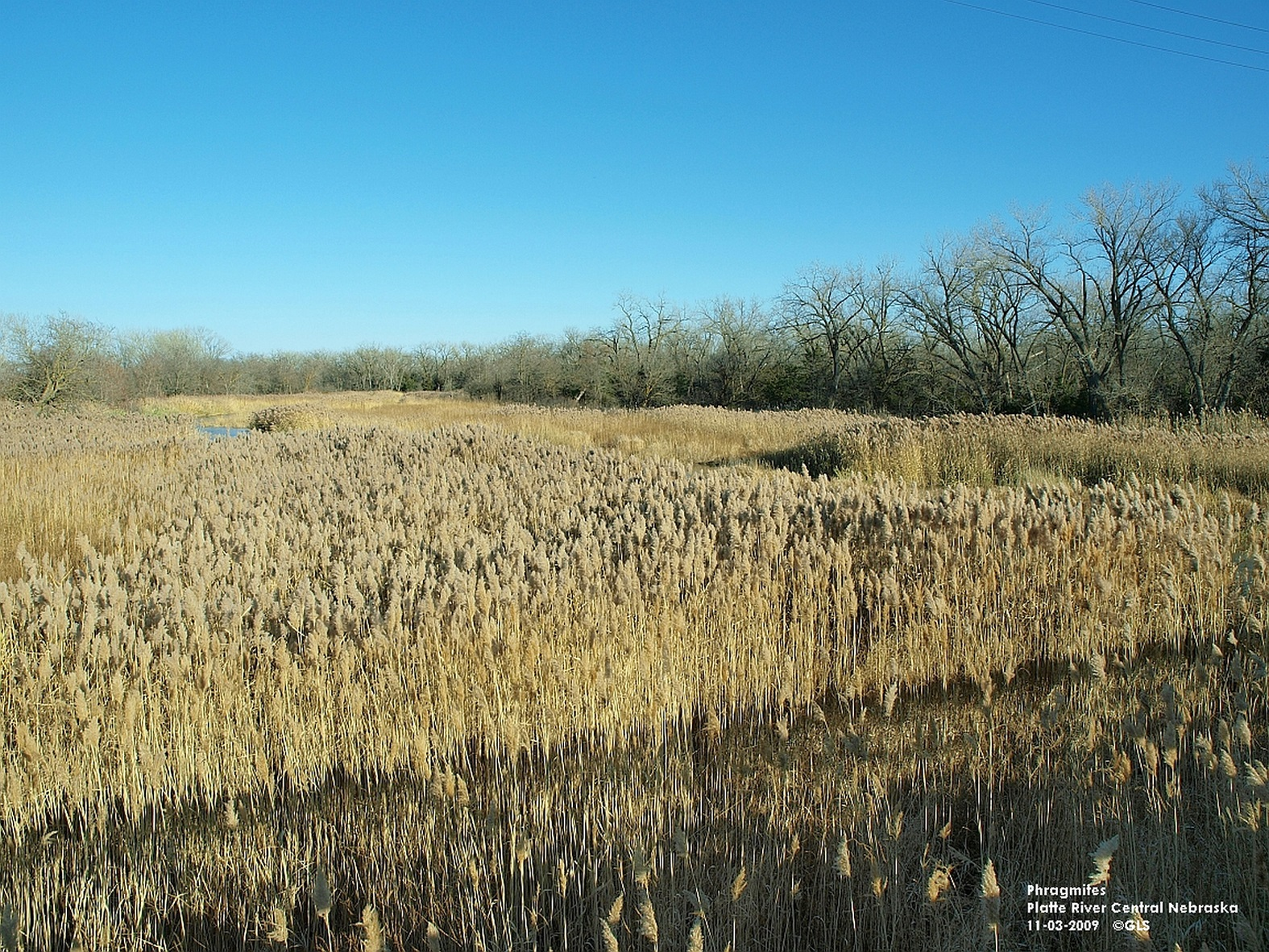 Phragmites North Platte River