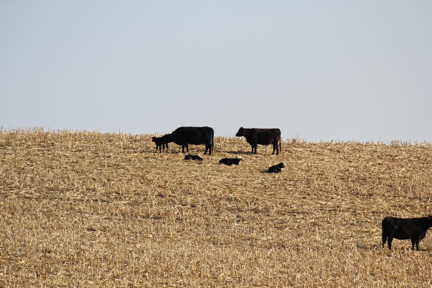 Pairs grazing cornstalks
