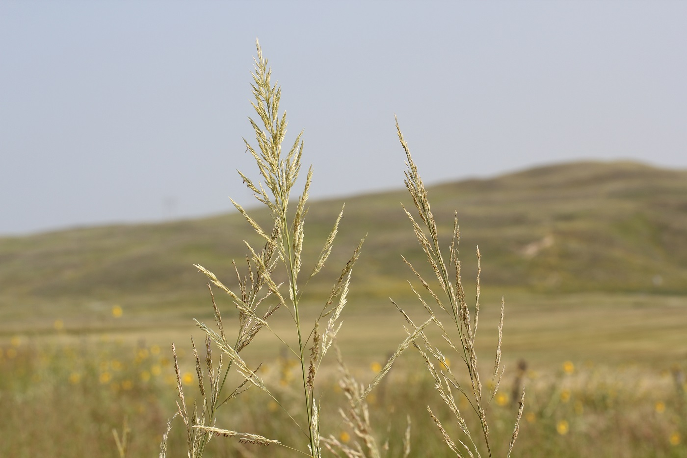Prairie sandreed