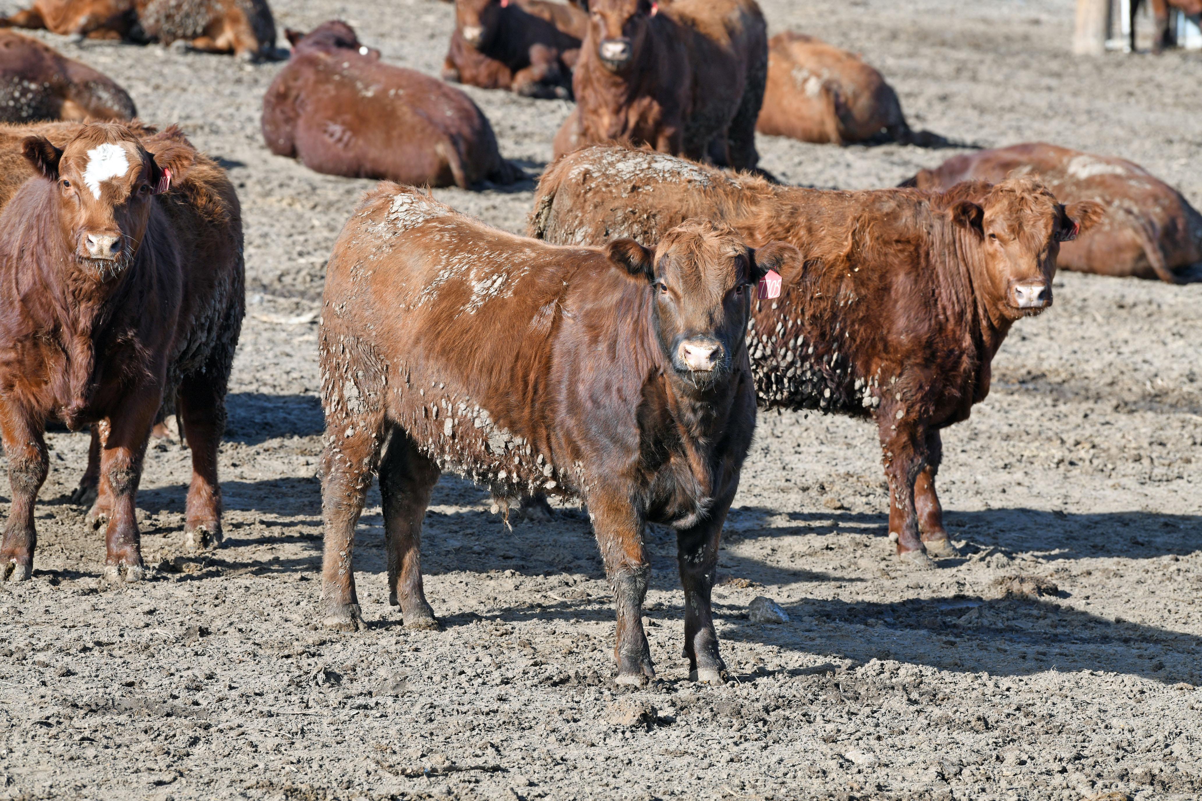 Feedlot steers