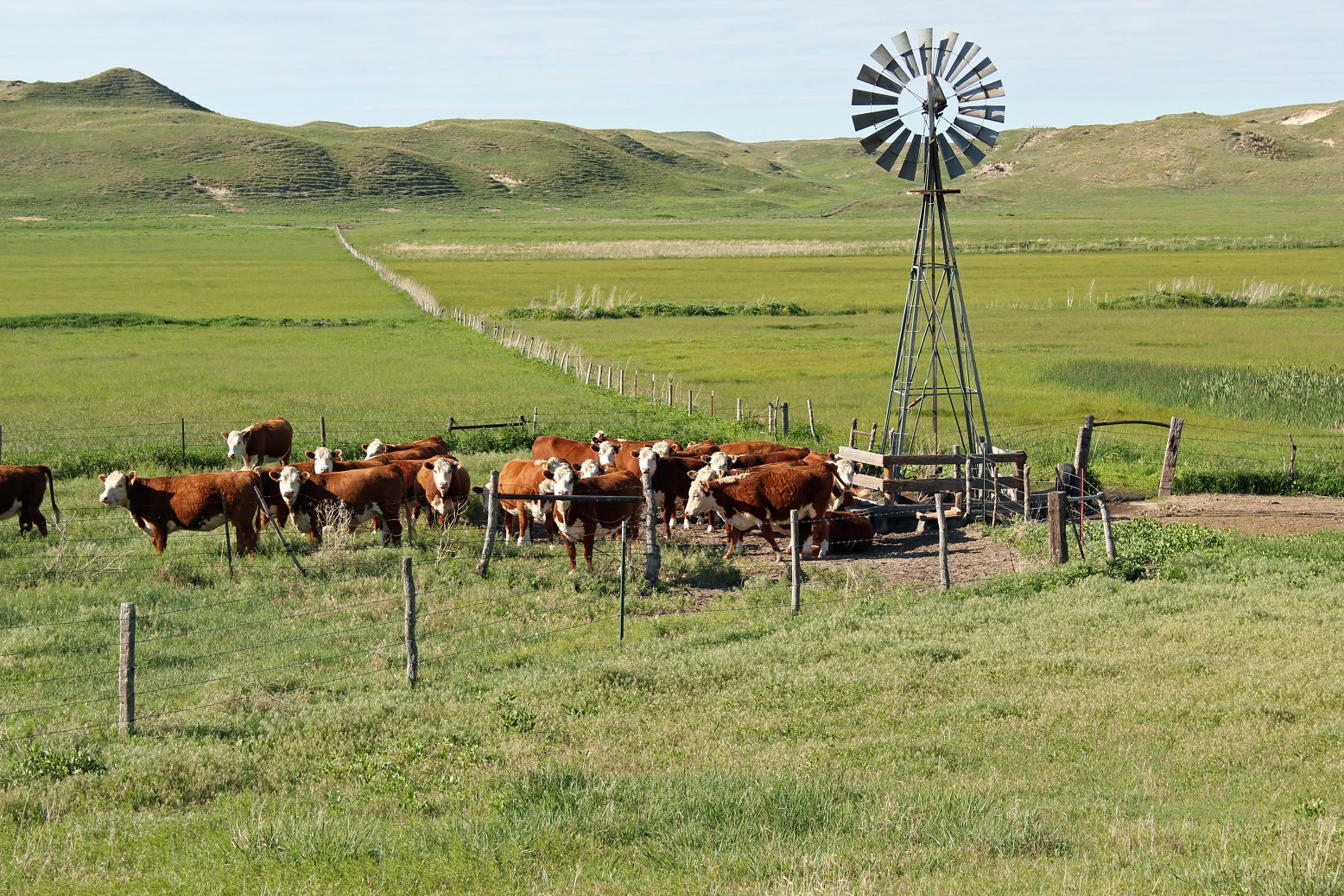 Cattle in a field with a windmill