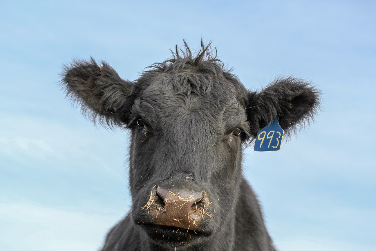 Beef animal