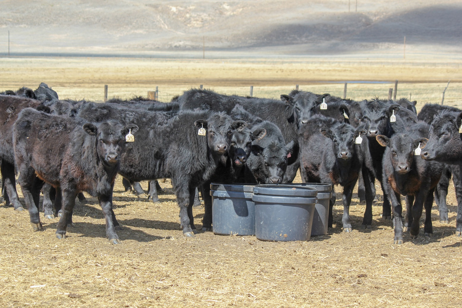 Cattle at mineral tubs