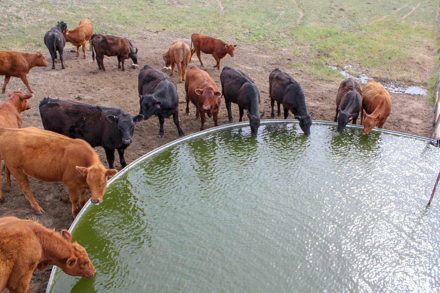 cattle drinking from a water tank