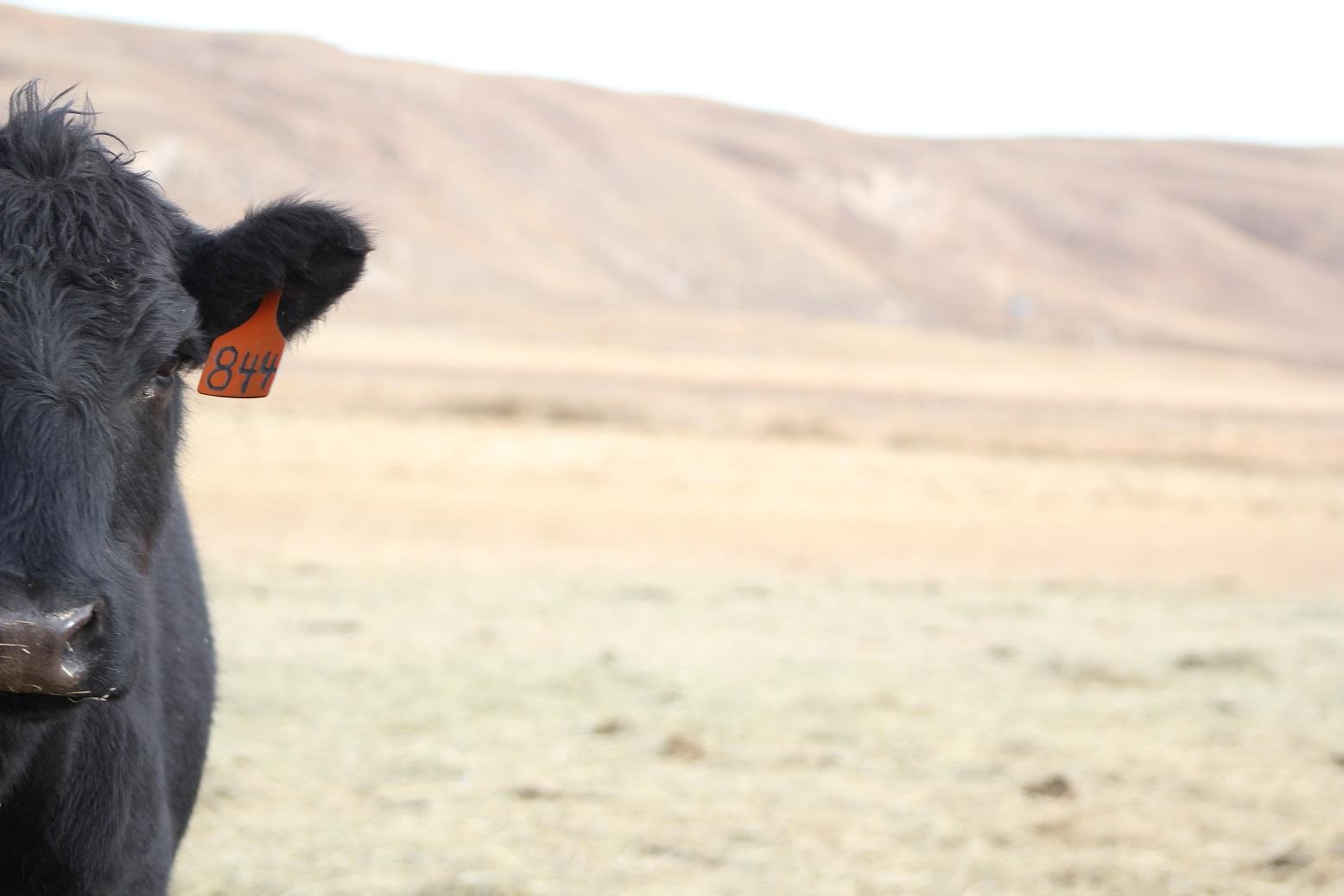 cow on rangeland