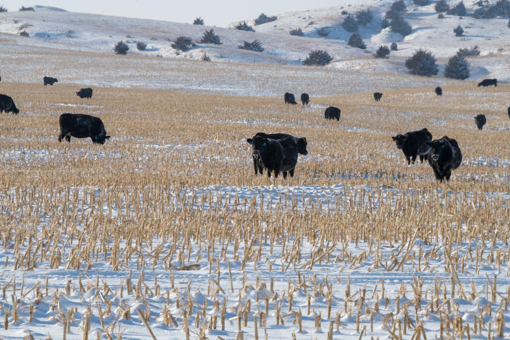 Cows grazing corn residue