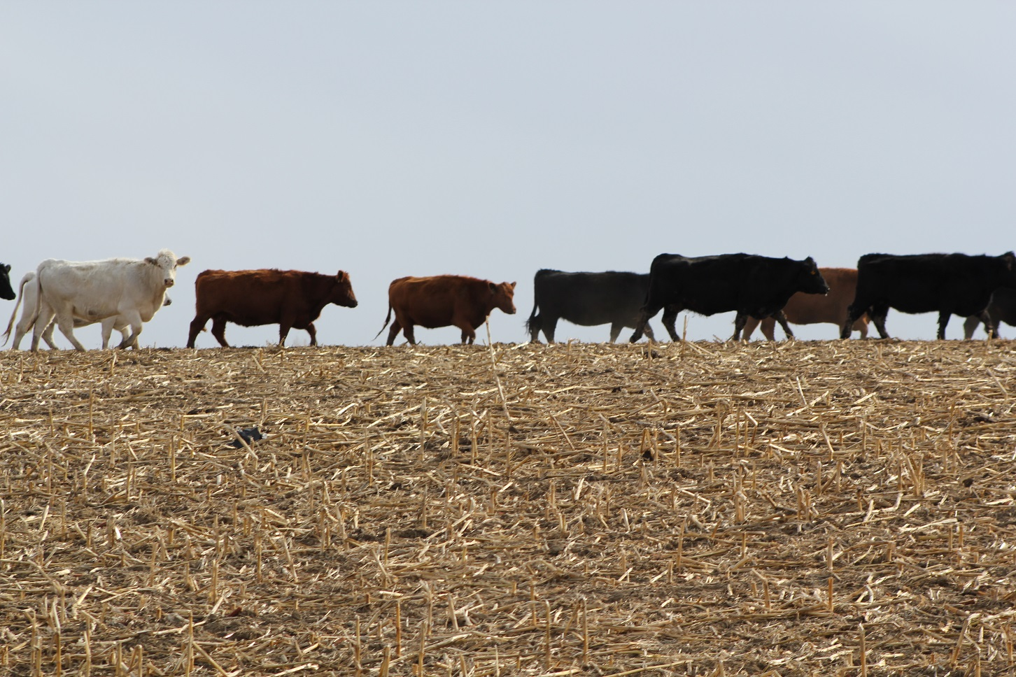 cattle grazing residue