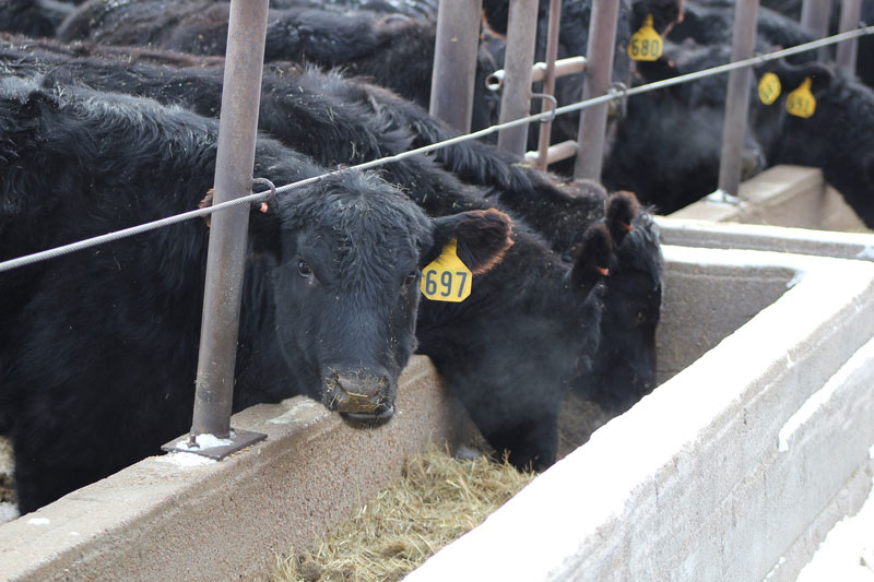 Cattle eating from a trough