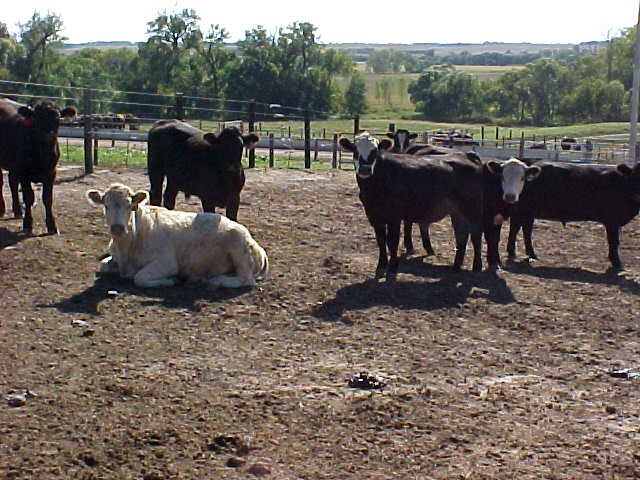 photo of cattle in feedlot