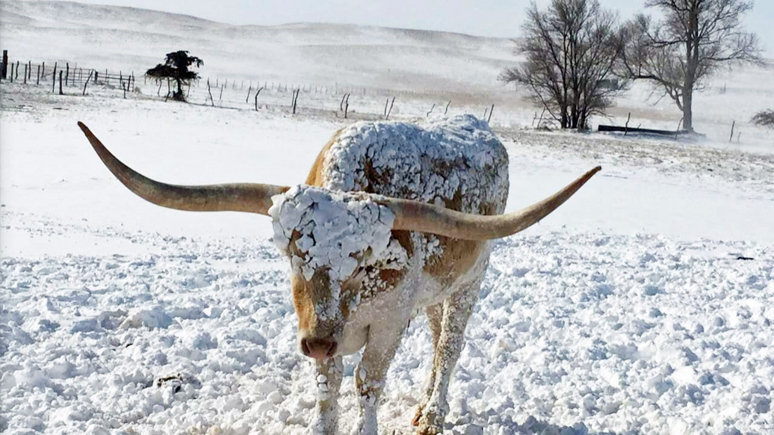 Cow in a snowy field