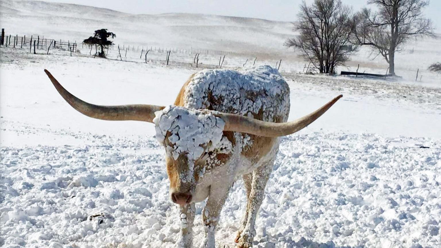 Cow in a snowy field
