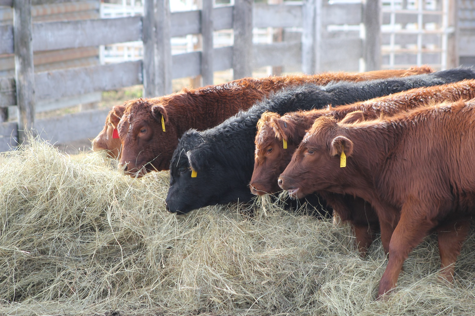 Group of cows eating hay