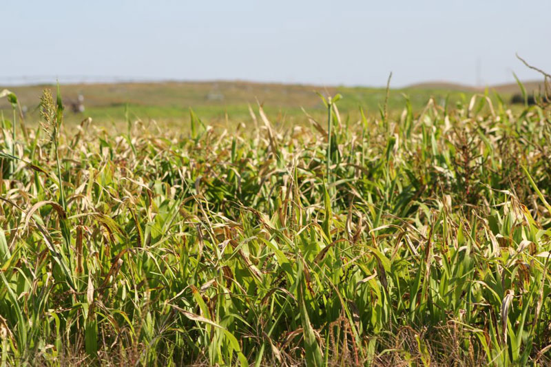 A field of sorghum-related plants
