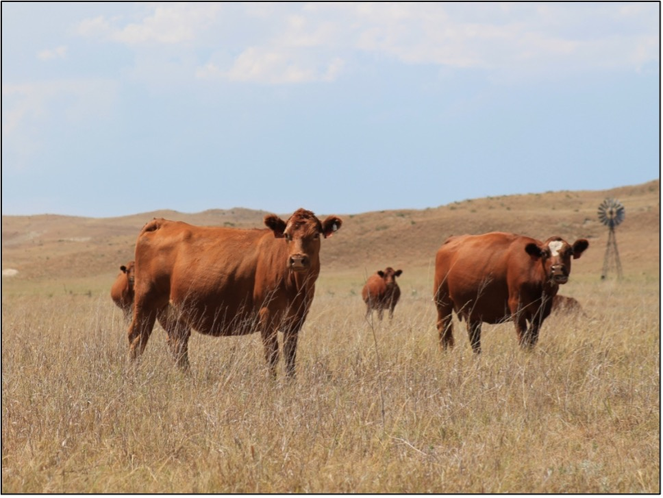 cattle grazing in drought stressed pasture
