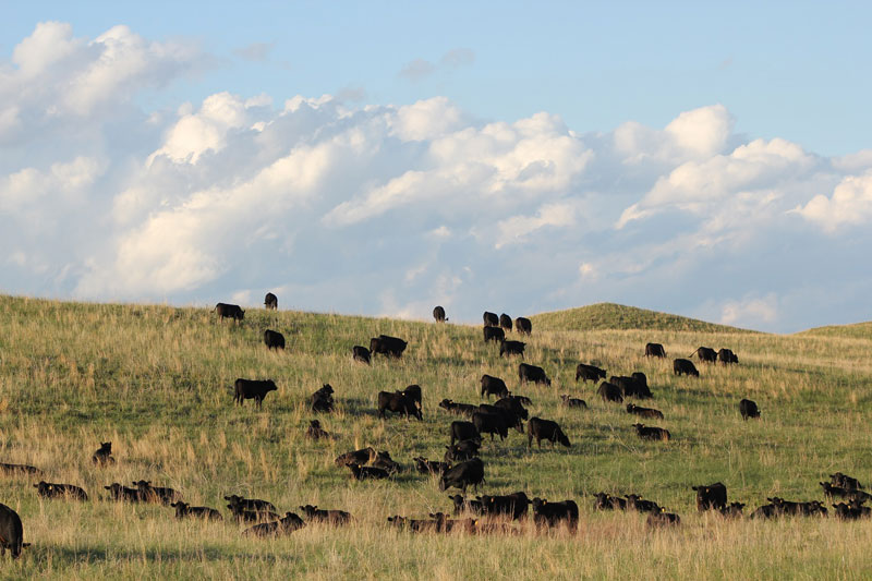 Group of cattle on a field