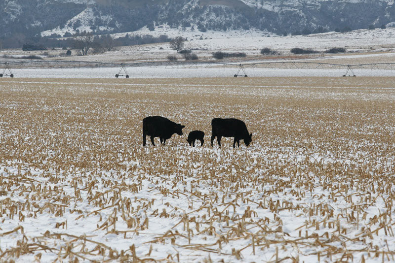 Cattle grazing in a field in the winter