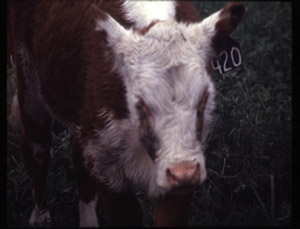 photo of calf with pink eye