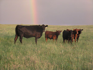 photo of cow with calfs in pasture - rainbow in background