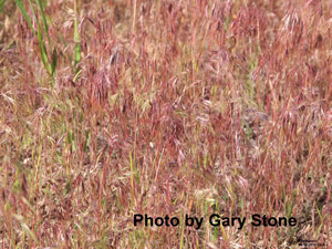 photo of cheat grass in pasture