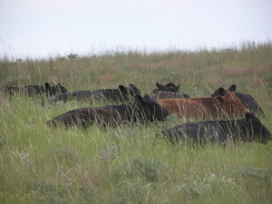 resting cows image