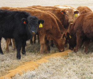 photo - calves with distillers grains on ground