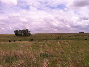 photo of cattle in pasture