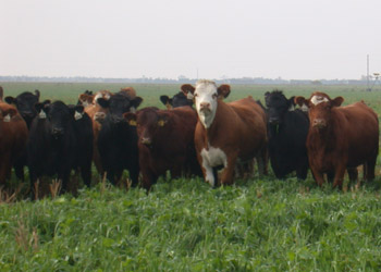 cattle grazing in annual forage field