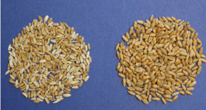 photo of scabby wheat next to normal wheat