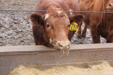 photo of cattle at feedbunk in muddy feedlot