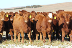 photo of a group of heifers in pasture