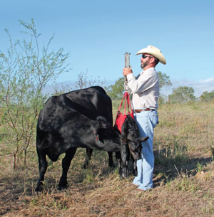 photo - rancher weighing newborn calf