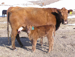 photo - cow with calf