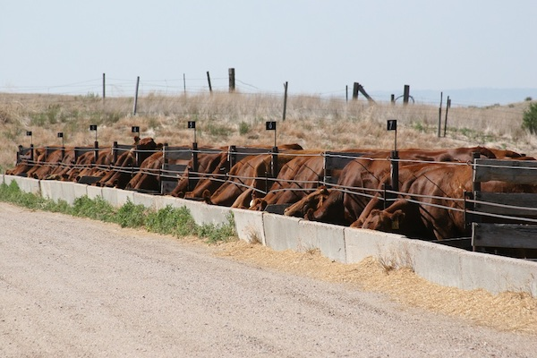 photo of cattle feeding out of a bunk