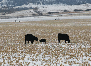 photo cows with calf in snow-covered cornstalk residue field